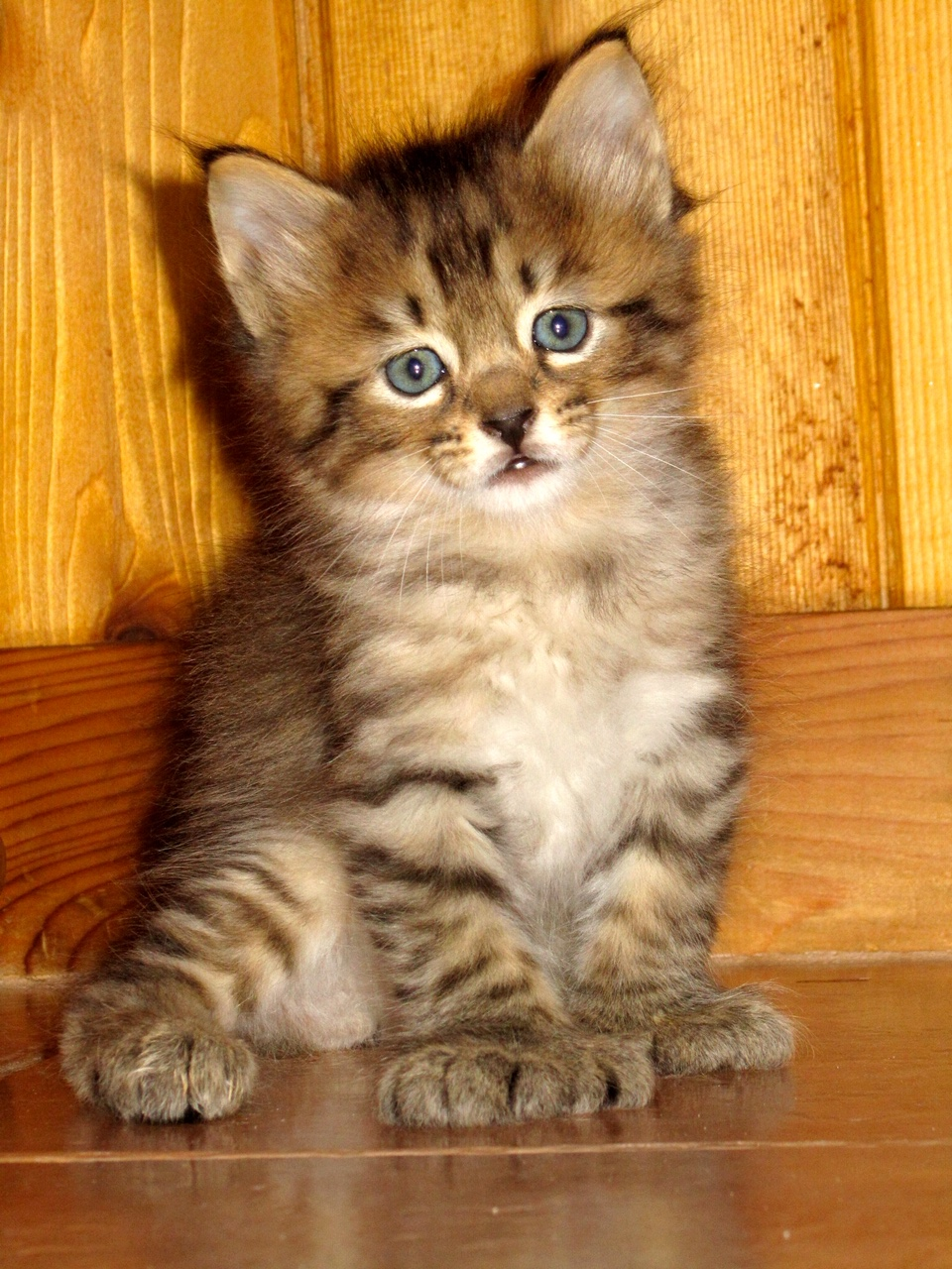 Pixie Bobcats & Polydactyl Kittens for Sale | Bobcat Legends