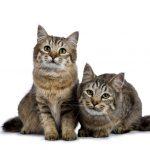 Pixie-Bob Cat Breeder in Texas