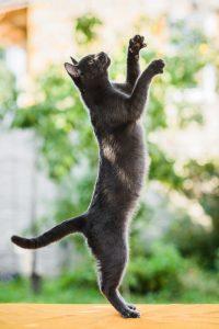 Pixie-Bob Kittens in Texas